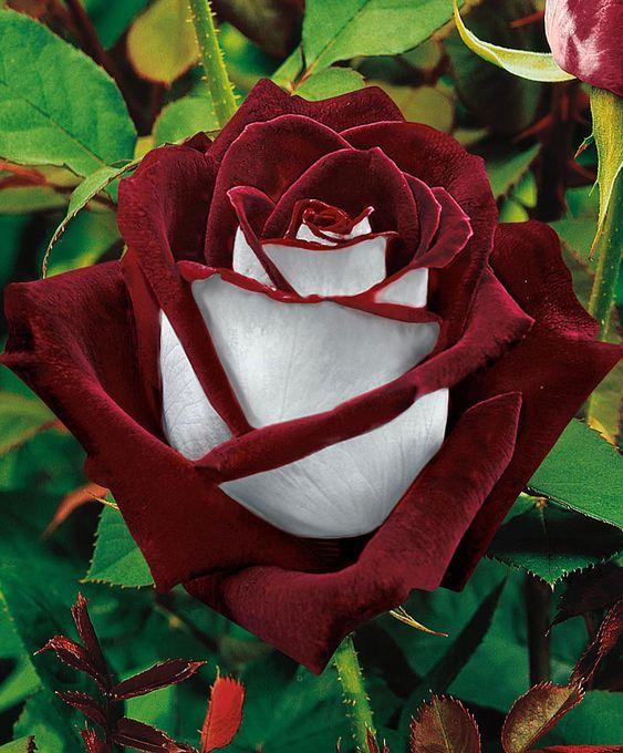 Lancanshire rose image